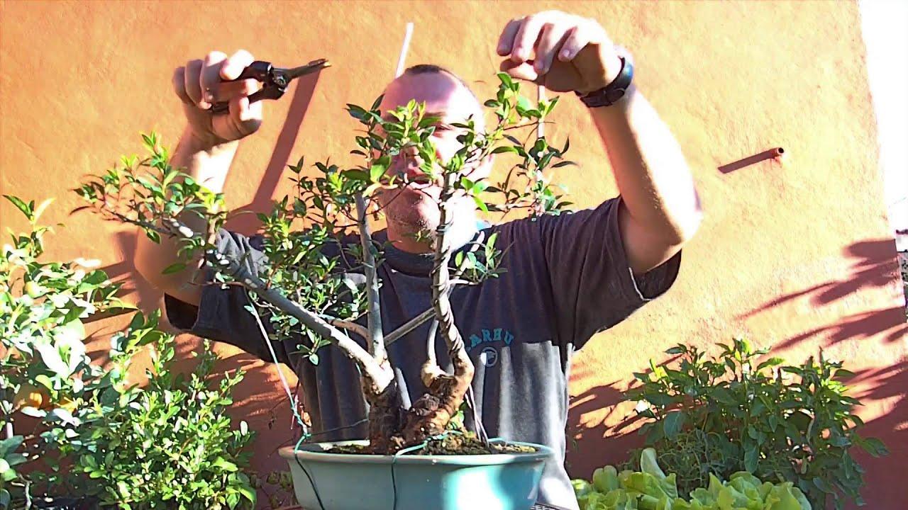 Bonsai cuidados mirto arrayan septiembre 2013 youtube - Cuidado del bonsai ...
