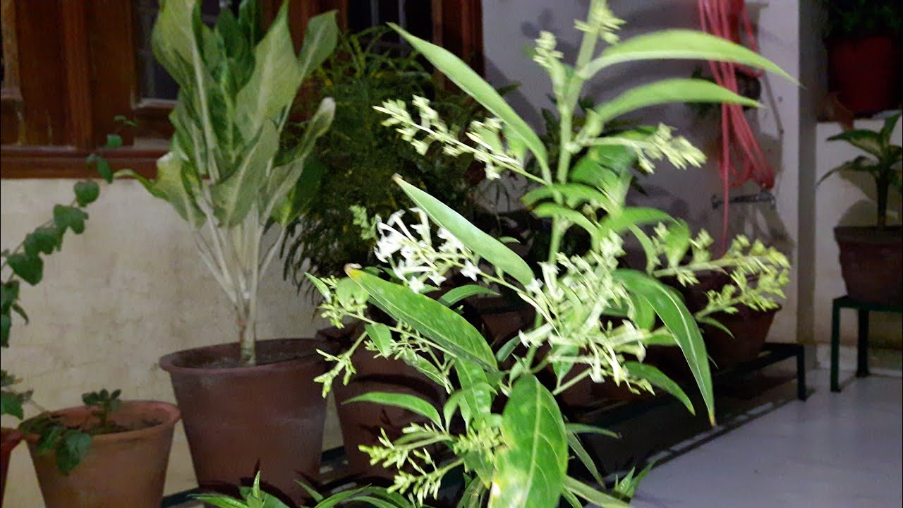 How to grow and care night blooming jasmine raat ki rani plant how to grow and care night blooming jasmine raat ki rani plant fun gardening izmirmasajfo