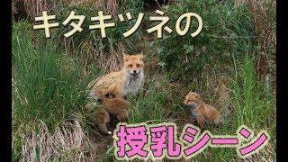 キタキツネの授乳シーンです、おっぱいを飲む仔狐達は可愛いですね。 20...