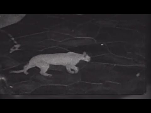 Thumbnail: Cougar sightings spike, caught on camera