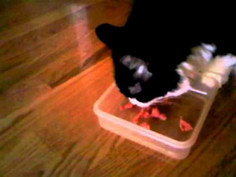 Is It Safe For Cats To Eat Raw Meat