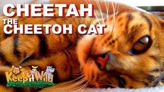 Cheetah the Cheetoh Cat