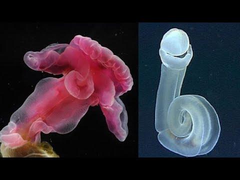 Acorn Worm - Deepsea Oddities