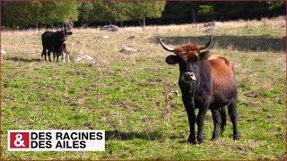 Les aurochs sont de retour en Margeride