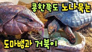 콩한쪽도 노나묵는 도마뱀과 거북이♥