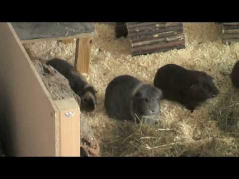 meerschweinchen im haus youtube