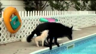 Toy Poodle Attacks Black German Shepherd