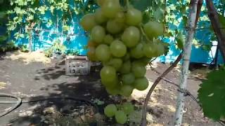 Виноград Кеша 1,Талисман на арке.