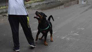 Rottweiler Dog @ Vet in Dhaka City 01912251312 @ Intern vets @Dr. Sagir's Pet Clinic