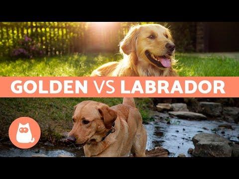 LABRADOR VS GOLDEN RETRIEVER – Differenze tra Labrador e Golden Retriever