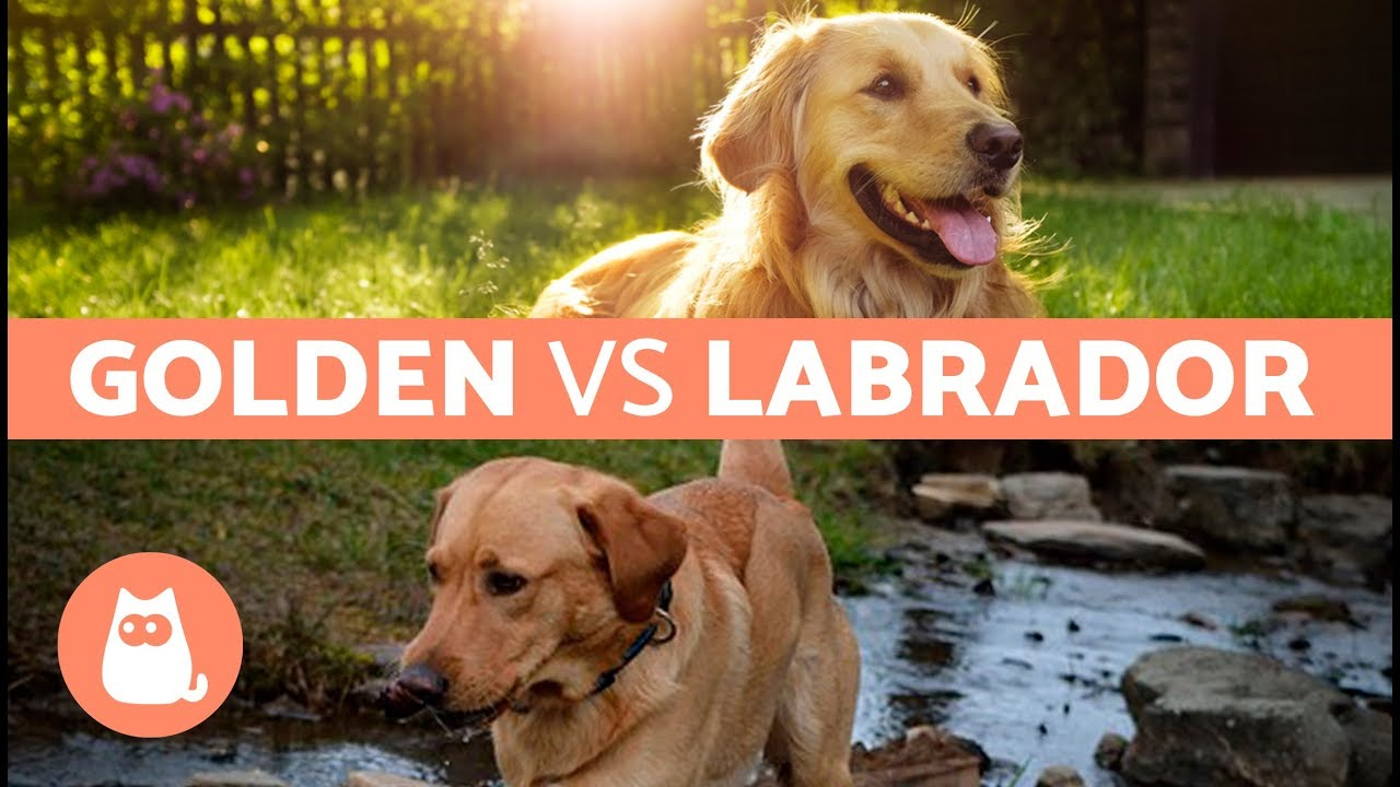 Labrador Vs Golden Retriever Differenze Tra Labrador E Golden Retriever