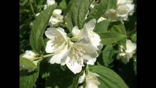 Жасмин (чубушник) садовый(Это видео создано в редакторе слайд-шоу YouTube: http://www.youtube.com/upload., 2016-06-16T10:50:15.000Z)