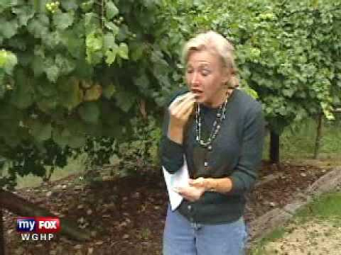 Muscadines Grapes Have the Highest Level of The Anti Aging Resveratrol!