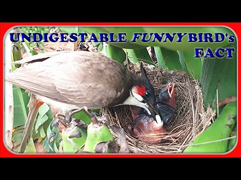 Mother bird Eats Baby bird's POO!!! to keep Nest clean | Weird & Funny bird Fact | bulbul bird nest