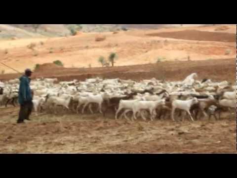 Skutečný dárek - Distribuce koz v Etiopii