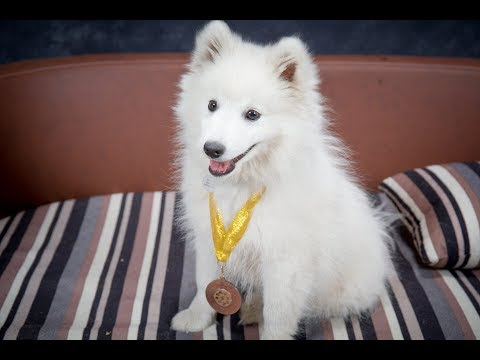 Kubo  Japanese Spitz Puppy  2 Weeks Residential Dog Training
