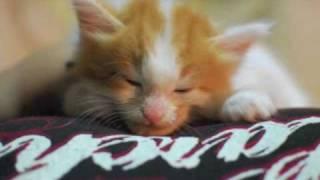 Cute & Fiesty Maine Coon Kitten Spartacus