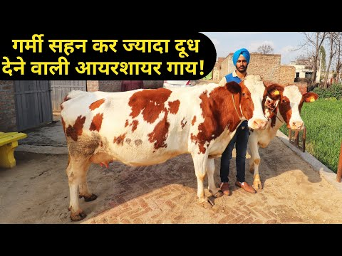 आयरशायर गाय का पहला डेरी फार्म|First Ayrshire cow Breed Dairy Farm in india