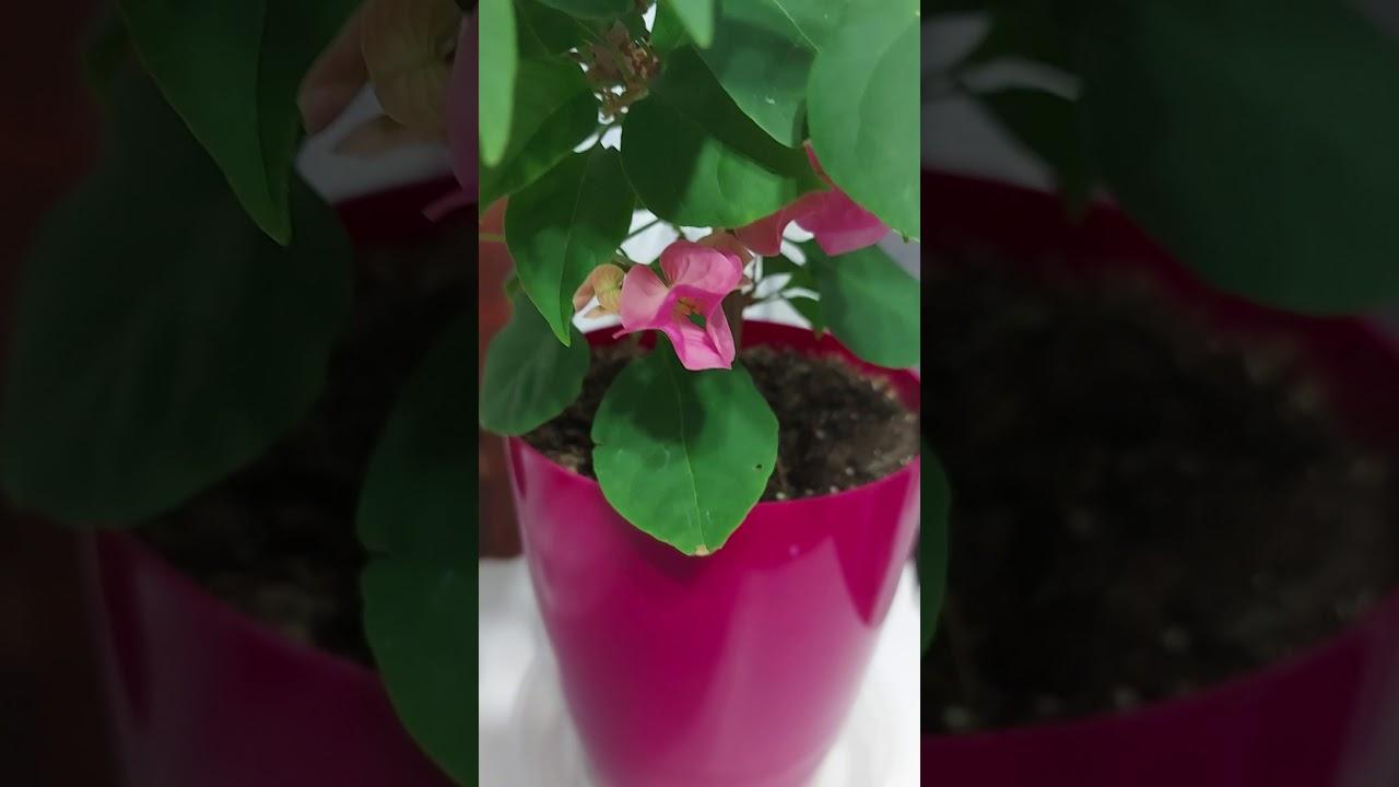 Как добиться цветения бугенвиллии