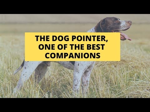 THE POINTER DOG, One Of The Best Companions