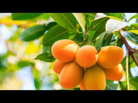 Вопрос: Почему у манго такая большая косточка Зачем манго огромная косточка?