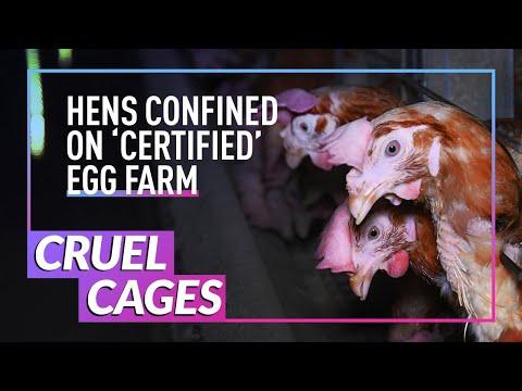 Investigation: Hens Cruelly Caged on British Egg Farm | Animal Equality UK