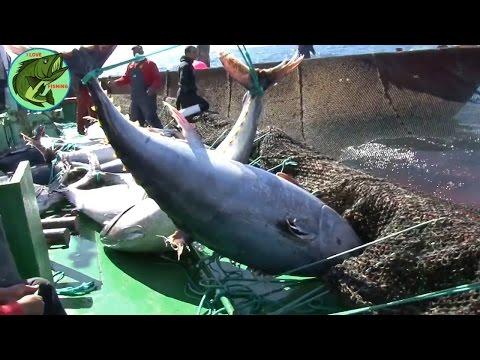 Pescuitul industrial cu plasele la ton ! Oceane insangerate !