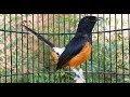 Nyanyian Santai Murai Batu Untuk Pancing Murai Macet Males Bunyi Dan Muda Hutan  Mp3 - Mp4 Download