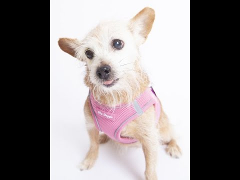 Chicklette, a female Terrier mix at Muttville-adopted!