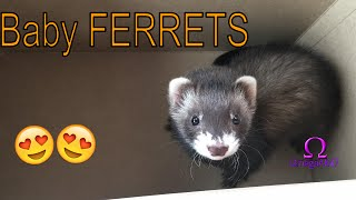 We just Bought baby FERRETS!!