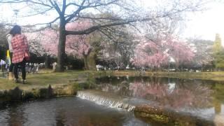 Hoa sakura bên bờ suối róc rách