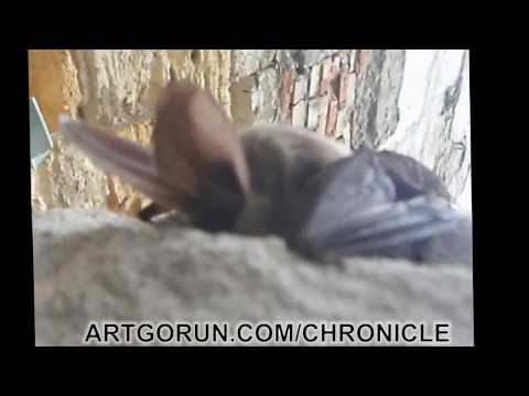 BATMAN - ДЕТСТВО . -Серый ушан- (Plecotus austriacus)