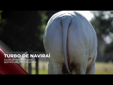 Touro Turbo de Naviraí - Nelore indicado para IATF - RENASCER BIOTECNOLOGIA VIDEO
