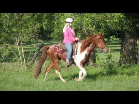 Beautiful sorrel and white spotted saddle horse gelding for sale