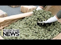 MERRY JANE News - How Dangerous Are Pesticides to Cannabis Users?