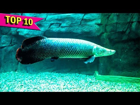 Top 10 Aquarium Fish that grows to Large Sizes