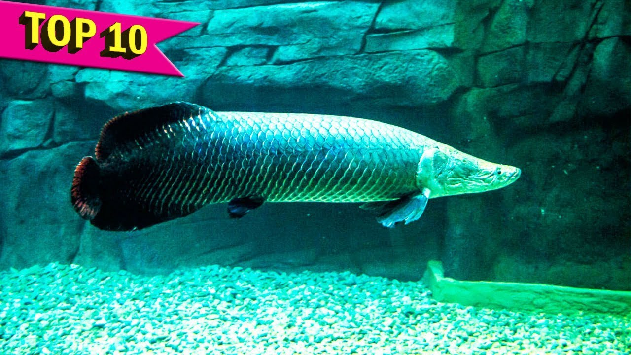 Top 10 aquarium fish that grows to large sizes youtube for Large aquarium fish