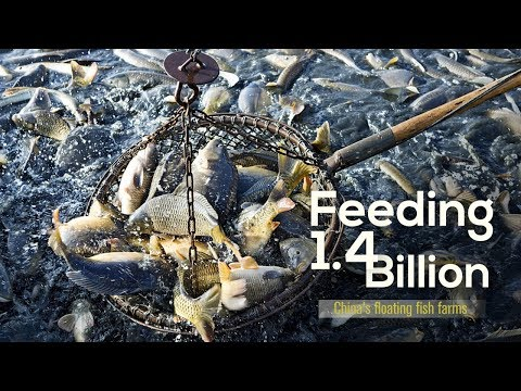 Feeding 1.4 Billion  China's Floating Fish Farms