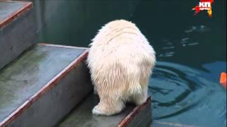 Медведица Шилка стала плавчихой, а амурские тигры увлеклись единоборствами