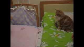 Сибирские коты не очень суровы