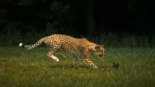 leopard vs