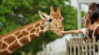 Samson the Giraffe from Moscow Zoo