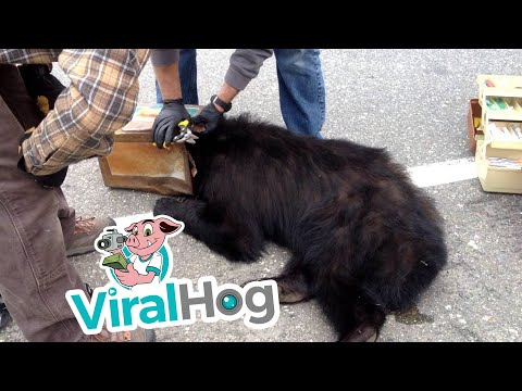 Bear with Head Stuck in Can is Rescued by Fish and Game Biologists || ViralHog