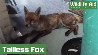 GoPro Rescue - Tailless Fox Returns to the Wild!