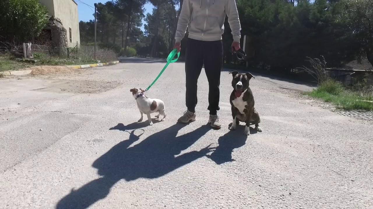 AMSTAFF AGRESSIF CONGÉNÈRES // ALL DOG