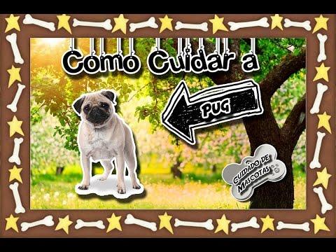 Pug  Como cuidar a esta raza de perros  (Perros razas pequeñas)  Cuidados de mascotas 