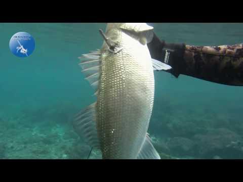 Hunting Perch - Spearfishing Levrek avları 1. bölüm midland xtc 300