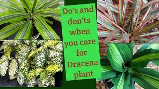 Semi shade Dracena plant : tips on how to grow a healthy plant.