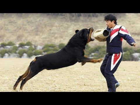TOP 10 BEST ATTACKER DOG BREEDS