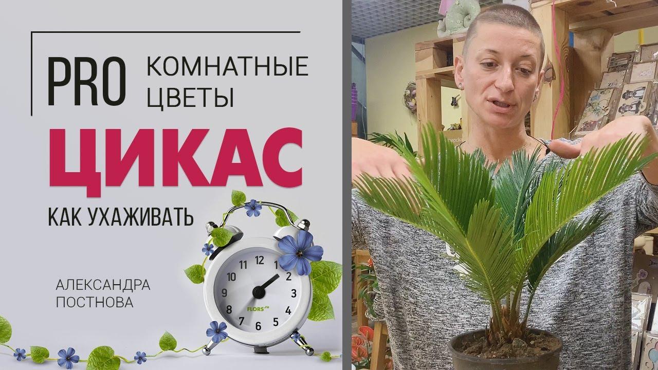Цикас | Саговая пальма | Саговник | Неприхотливая комнатная пальма для любителей необычных растений.